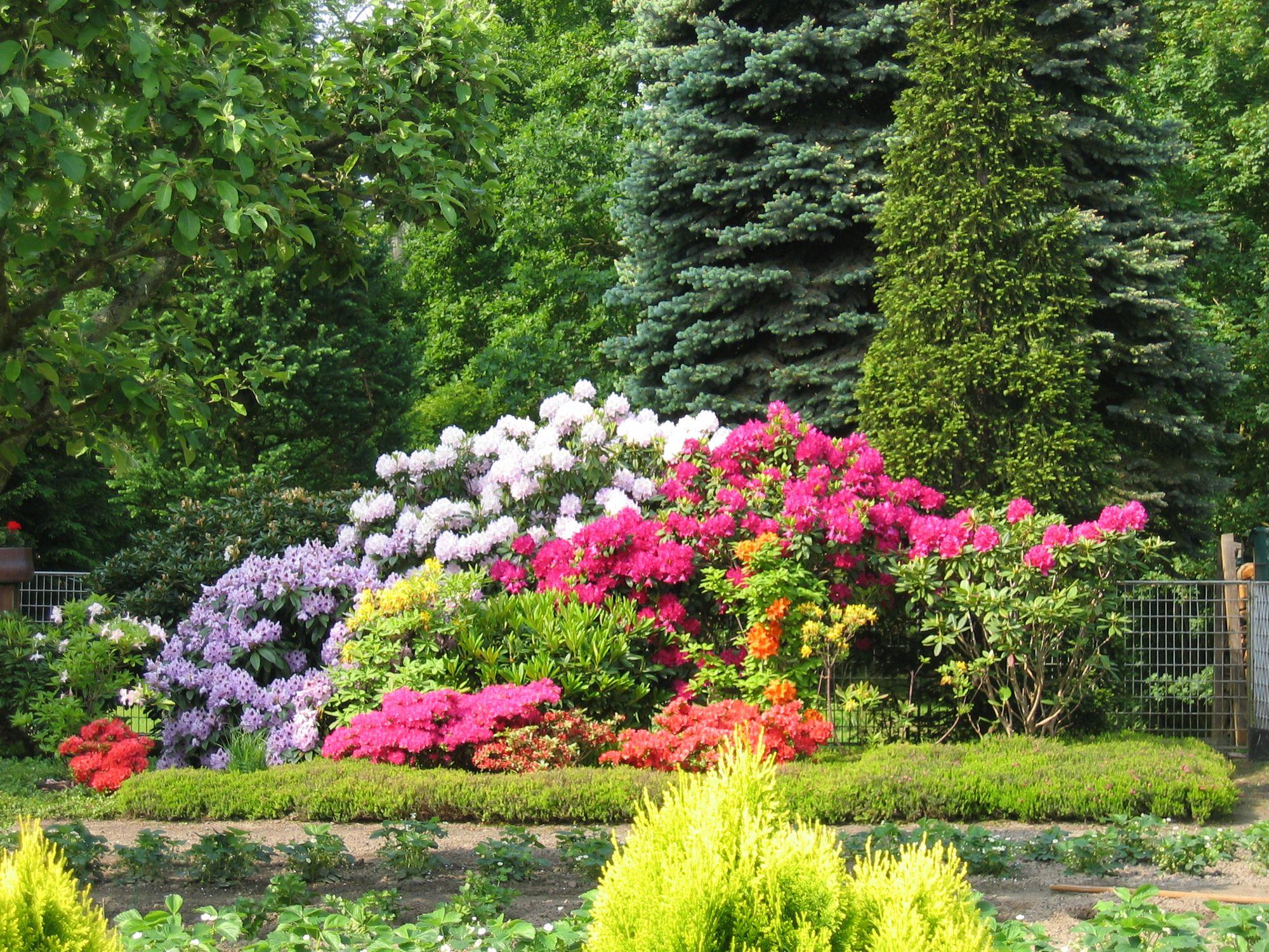 Azaleen und Rhododendron im japanischen Garten, Rhododendron Pflege - richtig pflanzen, gießen & düngen