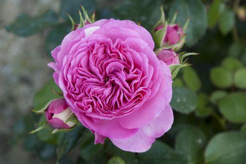 rose_baronessevontantau