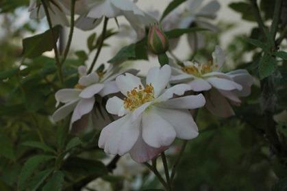 rose_garland