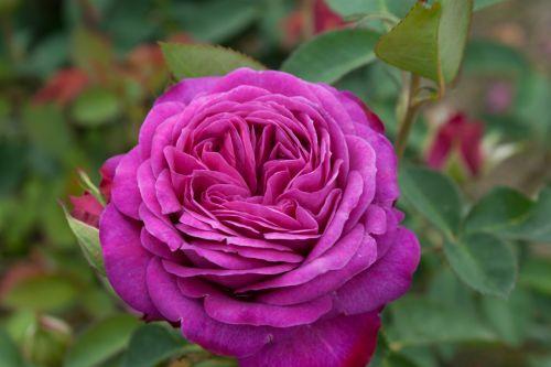 rose_heidiklum
