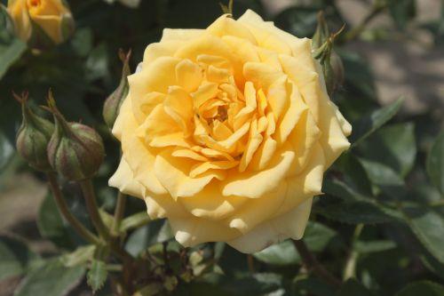 zwergrose rose yellow clementine in Berlin günstig kaufen