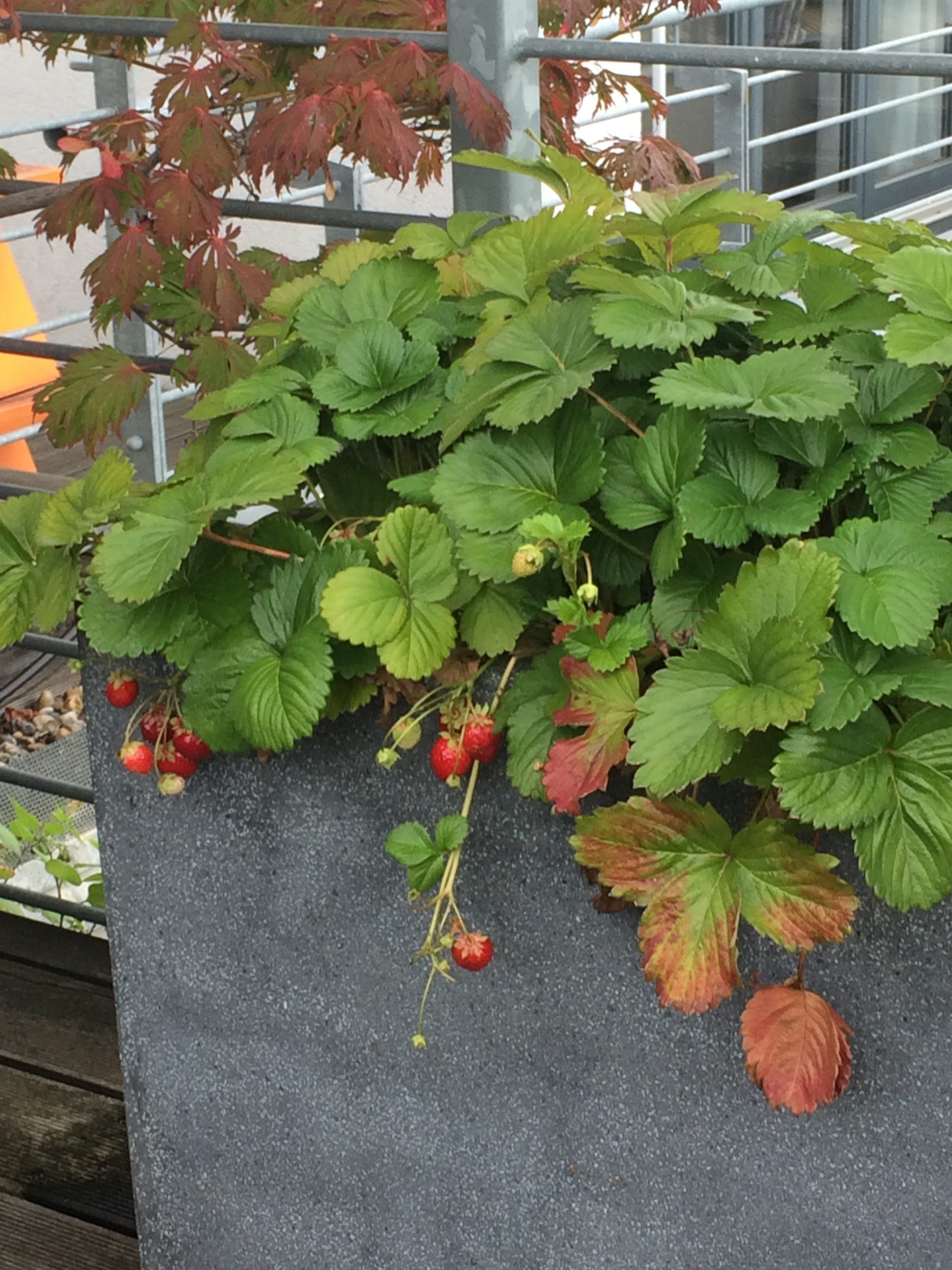 Rooftop Terrasse Bepflanzung in Berlin: Winterharte Kübelpflanzen für Terrasse und Balkon